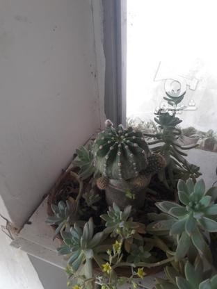 گل کاکتوس سبدی در گروه خرید و فروش لوازم خانگی در مازندران در شیپور-عکس2