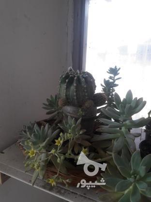 گل کاکتوس سبدی در گروه خرید و فروش لوازم خانگی در مازندران در شیپور-عکس3