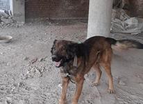 فروش سگ عراقی  در شیپور-عکس کوچک