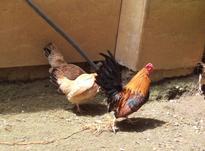 تعداد 5 عدد مرغ و یک عدد خروس مینیاتوری در شیپور-عکس کوچک