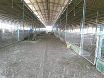 فروش دامداری و  سوله و... 25000 متر در پل تجن در شیپور