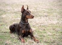 سگ دوبرمن پینچر ( دوبرمن نژاد آلمان ) در شیپور-عکس کوچک