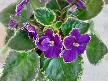 زیباترین  گل های بنفشه آفریقایی در شیپور