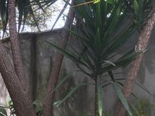 درخت یوکا 28 سال ب بالا  در شیپور