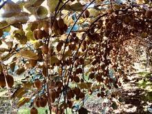 کارگر اهل استان گلستان جهت باغ کیوی  در شیپور