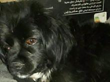 سگ دزدیده شده یادگارامام.اطراف کلانتری 13  در شیپور