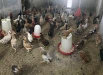 فروش نیمچه مرغ محلی(خومونی) در شیپور-عکس کوچک