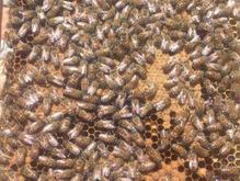 کندوی زنبور عسل در شیپور