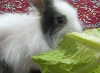 بچه خرگوش جرسی لوپ در شیپور-عکس کوچک