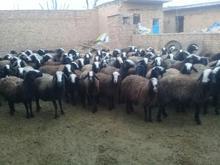 گوسفند شال و افشار در شیپور