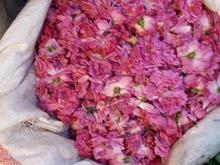 فروش گل محمدی واجاره مزرعه گل محمدی در شیپور