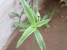گل. شنگی.  صحرایی در شیپور