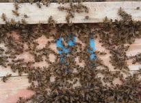 عسل کاملا ارگانیک در شیپور-عکس کوچک