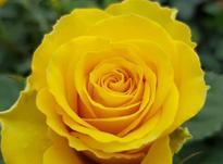 گل رز گلدانی  در شیپور-عکس کوچک