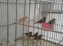 6 عدد فنچ نر در شیپور-عکس کوچک