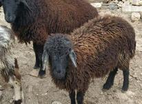 گوسفند و بره در شیپور-عکس کوچک