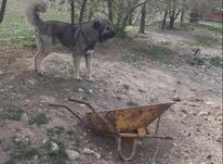 سگ نر دوساله آدم گیر وجنگجو در شیپور-عکس کوچک