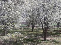 باغچه الوچه  در شیپور-عکس کوچک