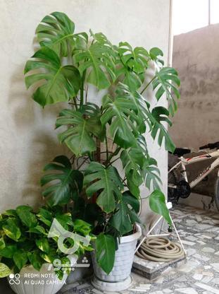گل برگ انجیری بزرگ یک متر و بیست در گروه خرید و فروش لوازم خانگی در مازندران در شیپور-عکس2