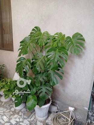 گل برگ انجیری بزرگ یک متر و بیست در گروه خرید و فروش لوازم خانگی در مازندران در شیپور-عکس3