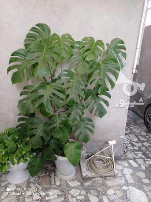 گل برگ انجیری بزرگ یک متر و بیست در گروه خرید و فروش لوازم خانگی در مازندران در شیپور-عکس4