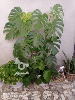 گل برگ انجیری بزرگ یک متر و بیست در گروه خرید و فروش لوازم خانگی در مازندران در شیپور-عکس1