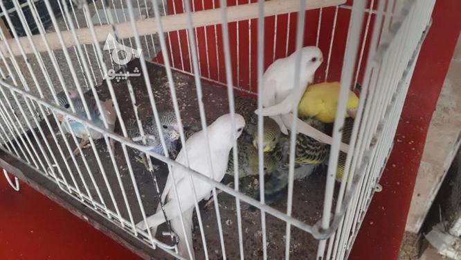 مرغ عشق نر وماده در گروه خرید و فروش ورزش فرهنگ فراغت در بوشهر در شیپور-عکس5