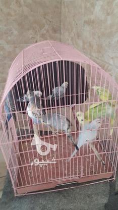 مرغ عشق نر وماده در گروه خرید و فروش ورزش فرهنگ فراغت در بوشهر در شیپور-عکس3