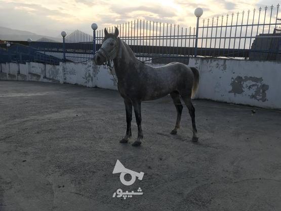 اسب نریان کرد در گروه خرید و فروش ورزش فرهنگ فراغت در مازندران در شیپور-عکس1