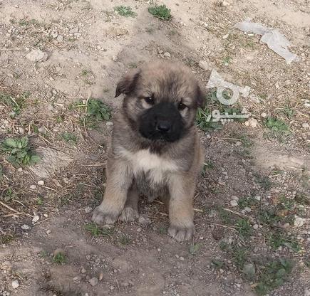 توله  سگ سرابی در گروه خرید و فروش ورزش فرهنگ فراغت در آذربایجان شرقی در شیپور-عکس1