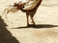 خروس لاری اصل  در شیپور-عکس کوچک