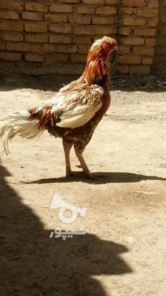 خروس لاری اصل  در گروه خرید و فروش ورزش فرهنگ فراغت در خراسان رضوی در شیپور-عکس5
