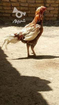 خروس لاری اصل  در گروه خرید و فروش ورزش فرهنگ فراغت در خراسان رضوی در شیپور-عکس1