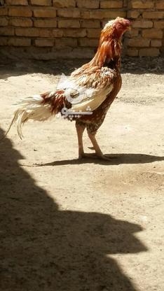 خروس لاری اصل  در گروه خرید و فروش ورزش فرهنگ فراغت در خراسان رضوی در شیپور-عکس4