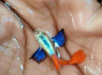 ماهی گوپی کلکسیونی  در شیپور-عکس کوچک