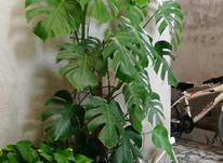گل برگ انجیری یک متر ونیم در شیپور-عکس کوچک