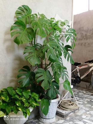 گل برگ انجیری یک متر ونیم در گروه خرید و فروش لوازم خانگی در مازندران در شیپور-عکس1
