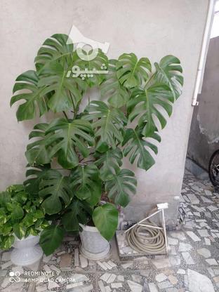 گل برگ انجیری یک متر ونیم در گروه خرید و فروش لوازم خانگی در مازندران در شیپور-عکس3