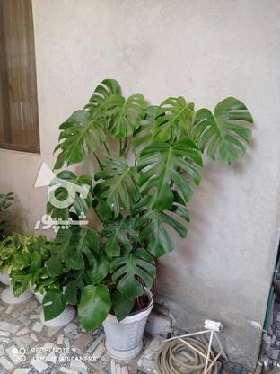 گل برگ انجیری یک متر ونیم در گروه خرید و فروش لوازم خانگی در مازندران در شیپور-عکس2