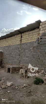 سگ سرابی فروش فوری در گروه خرید و فروش ورزش فرهنگ فراغت در زنجان در شیپور-عکس6