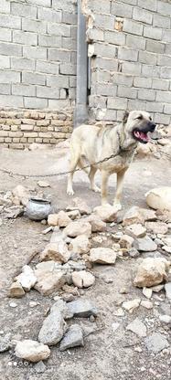 سگ سرابی فروش فوری در گروه خرید و فروش ورزش فرهنگ فراغت در زنجان در شیپور-عکس1