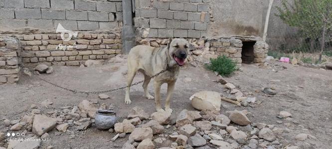 سگ سرابی فروش فوری در گروه خرید و فروش ورزش فرهنگ فراغت در زنجان در شیپور-عکس5