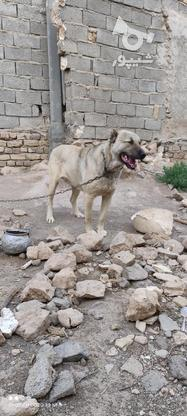 سگ سرابی فروش فوری در گروه خرید و فروش ورزش فرهنگ فراغت در زنجان در شیپور-عکس2