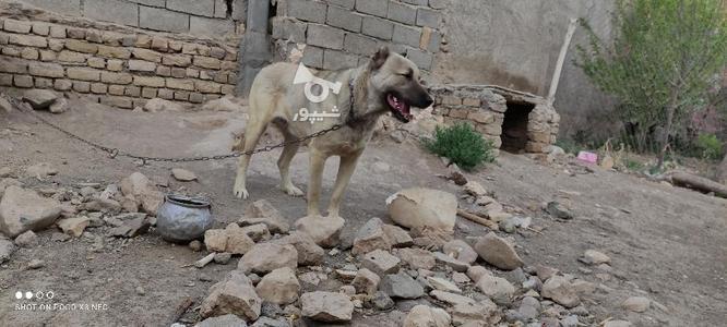 سگ سرابی فروش فوری در گروه خرید و فروش ورزش فرهنگ فراغت در زنجان در شیپور-عکس4