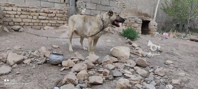 سگ سرابی فروش فوری در گروه خرید و فروش ورزش فرهنگ فراغت در زنجان در شیپور-عکس3
