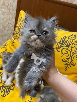 گربه پرشین  در گروه خرید و فروش ورزش فرهنگ فراغت در آذربایجان غربی در شیپور-عکس6