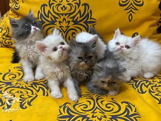 گربه پرشین  در گروه خرید و فروش ورزش فرهنگ فراغت در آذربایجان غربی در شیپور-عکس1