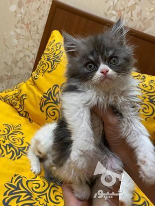 گربه پرشین  در گروه خرید و فروش ورزش فرهنگ فراغت در آذربایجان غربی در شیپور-عکس3