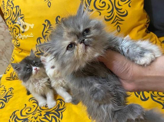 گربه پرشین  در گروه خرید و فروش ورزش فرهنگ فراغت در آذربایجان غربی در شیپور-عکس5