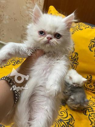 گربه پرشین  در گروه خرید و فروش ورزش فرهنگ فراغت در آذربایجان غربی در شیپور-عکس4